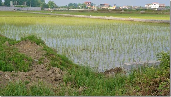 1709 das unmittelbare Hinterland ist Reisanbaugebiet (1024x575)