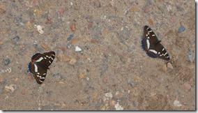 3201 Noch mehr Schmetterlinge am Strassenrand  (1024x575)