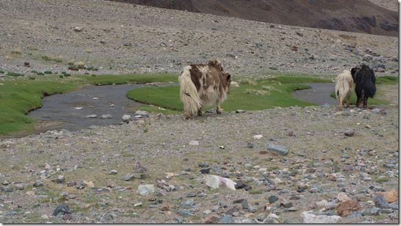 4002 Die Winter hier sind kalt, auch die Kühe haben ein dickes Fell  (1024x575)