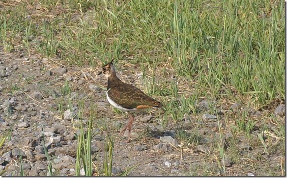 3426 Dieser Vogel scheint für den Fotografen zu posieren  (1024x635)