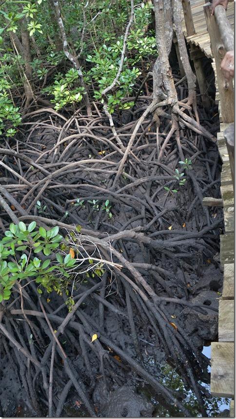 1852 Mangrovenwurzel-Wirr-Warr