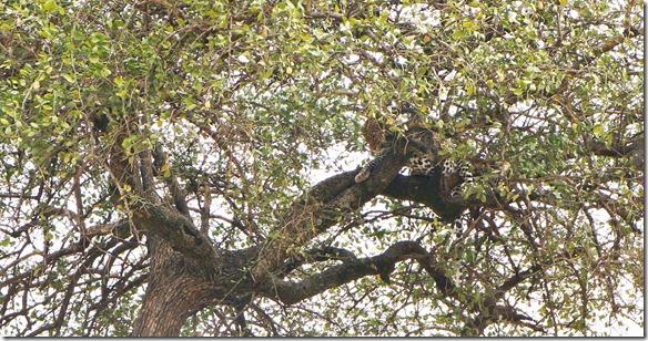 2118 plötzlich sehen wir einen Leoparden im Baum