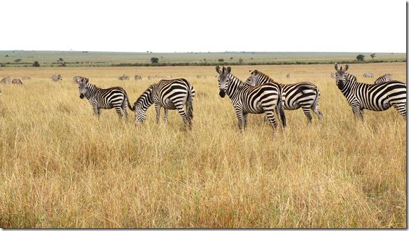 2129 nicht nur die Wildbiest's sind auf 'big emigration' sondern auch zehntausende Zebras ziehen mit ihnen
