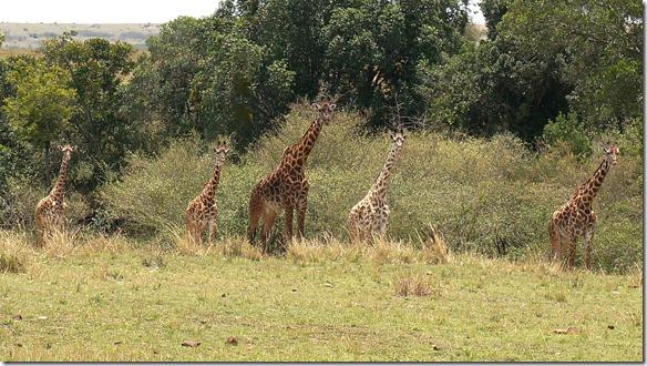 2136 hier sieht man gut den Unterschied zwischen dem weissen Comon-Giraffen und den Normalen