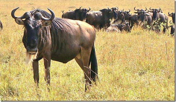 2159 ein Wildebiest-Bulle der seine Herde bewacht