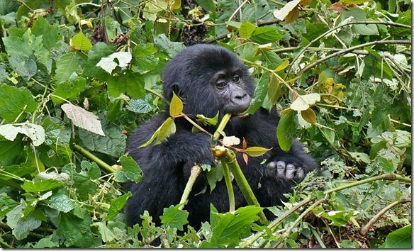 2250 B ein anderer junger Gorilla geniesst das Angebot an essbarem Wald