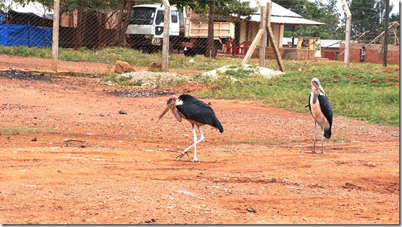 2260 Marabus auf einem Kiesgrubenplatz = grässliche Vögel
