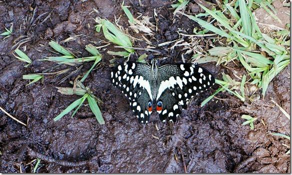 2308 Schmetterling 2