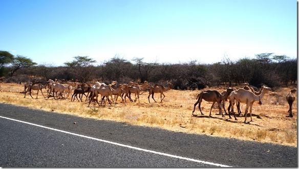 2323 Kamele auf dem Weg nach Moyale