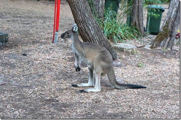 1212 auch ein Känguru streicht die ganze Zeit ums Zelt, bis ein Australier es wegjagt