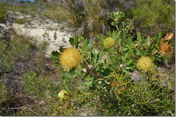 1315 noch eine proteaähnliche Blume