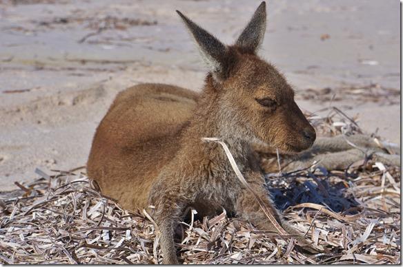 1320 die Kangroos lassen sich hier am Strand gerne Ablichten