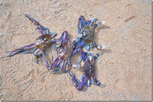 1421 dies ist die natürliche Farbe der Krabben die hier in der Ceduna Bucht gefangen werden