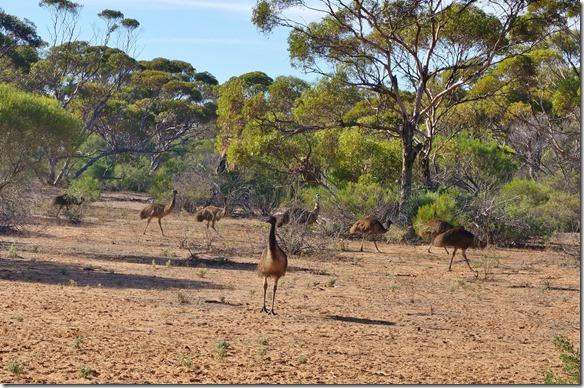 1460 eine Gruppe von Emus kommt uns auf der Lodge besuchen