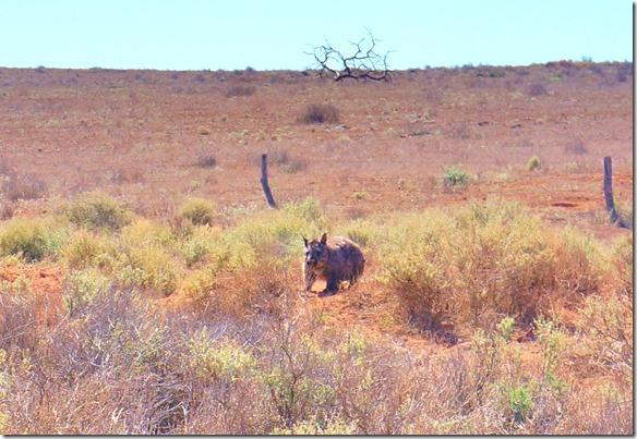 1478 wir hatten Glück einen Woombat wärend des Tages zu sehen