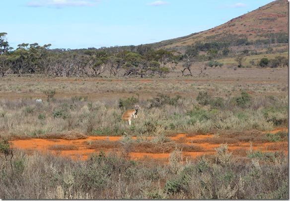 1484 ein Red-Känguru