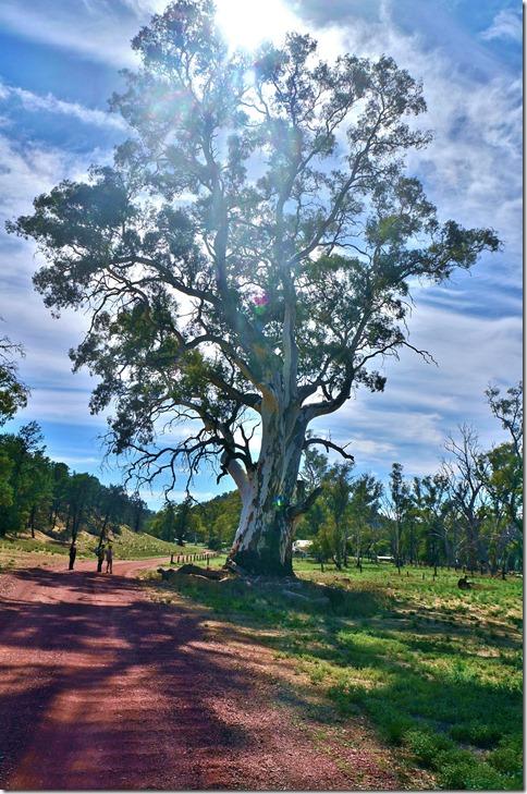 1525 ein Monster von Gumtree = einer von 700 Arten in Australien
