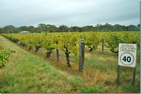 1546 die Weinstöcke werden nich hochgezogen sondern werden für die Maschinenernte auf ca 1-1,5 Meter wachsen gelassen