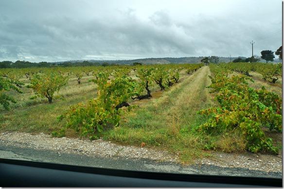 1547 die Weinstöcke die von Hand gelesen werden, werden nicht mit Drähten gestützt, sondern wachsen nahezu am Boden entlang