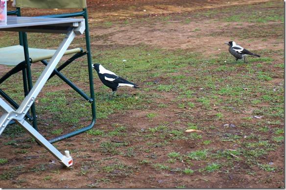 1594 diese Vögel kennen wie viele andere Tierarten keine Angst vor Menschen, sie kommen bis auf wenige cm herangehüpft