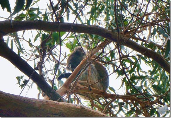 1612 es braucht ziemlich Geduld bis man die Koalas im Baum entdeckt
