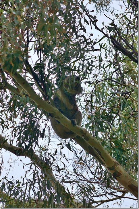 1716 wenigstens kommt uns auf dem Camping ein Koala besuchen