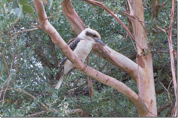 1789 der sitzt fast den ganzen Tag auf demselben Baum bei unserem Zelt