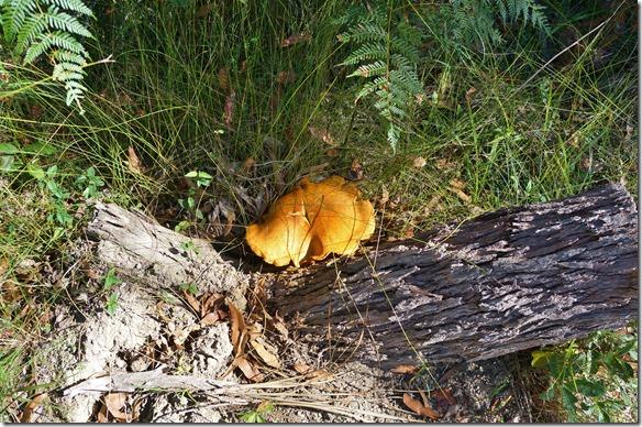 1846 hier gibt es wirklich grosse Pilze ( aber mir nicht bekannte Art)