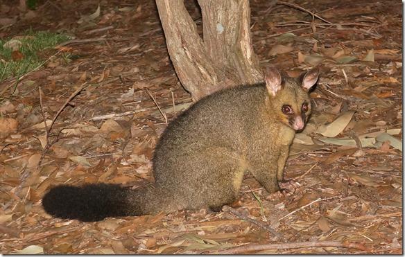 1873 ein Possum besucht uns mit seiner Familie während des Nachtessens auf dem Campingplatz in Ulladulla