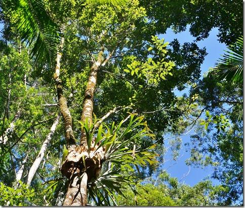 2051 die Blattpflanze um die Stammmitte lebt zusammen mit dem Baum, aber zerrstört diesen nicht oder nimmt ihm die Nahrung weg