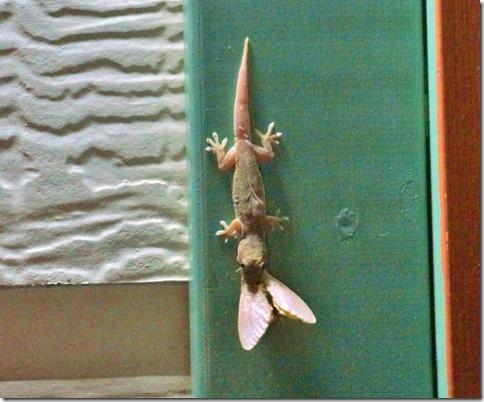 2070 ein Lizzard hat eine Motte gefangen bei unserem Toilettenhaus (Camp Site ensuite)