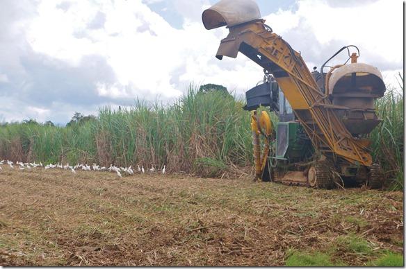 2634 die Vögel warten auf die Abfälle die beim ernten entstehen