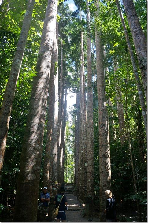 2640 diese Bäume sind ca. 80 Jahre alt