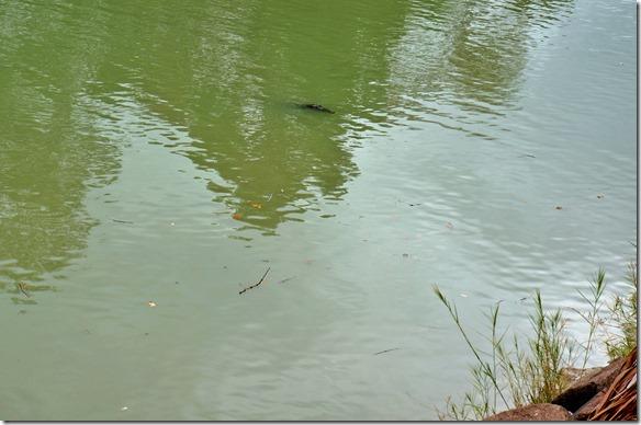 2835 das erste Krokodil noch grösstenteils unter Wasser