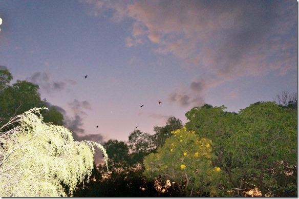 2855 auf dem Camp in Jaribu (Kakadu NP) haben am Abend immer haufenweise Fledermäuse uns überfolgen