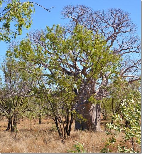 2894 es gibt auch Baobabs in Australien