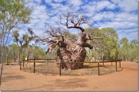 3310 der mächtige ca. 8 m Durchmesser messende Prison Tree (Gefängnisbaum) ausserhalb von Derby
