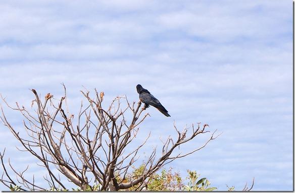 3315 es gibt hier auch schwarze Papageien, leider hat er den Kopf nicht gewendet so dass man seinen gekrümmten Schnabel sehen könnte