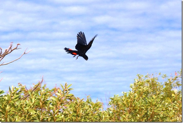 3316 markant an den schwarzen Papageien sind die roten Schwanzpunkte die man nur beim fliegen sieht