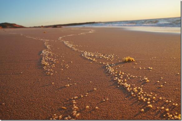 3340 Beach in Barn Hill vor dem Sonnenuntergang = diese durchsichtigen Erbsen sind Same einer Wasserplanze