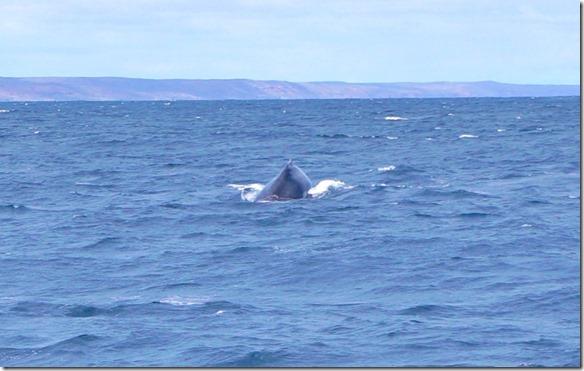 3401 es waren einige Humpback (Bukelwal) Wale bei unserem Tauchplatz