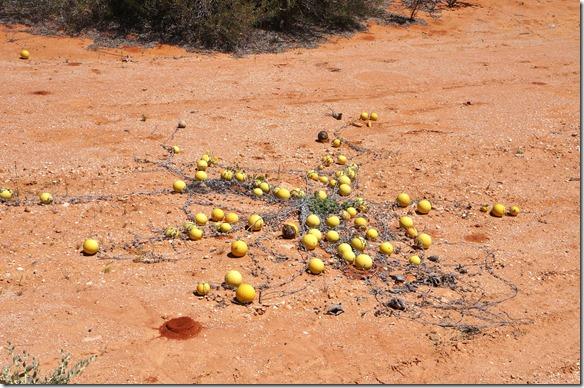 3435 sieht aus wie Äpfel abe diese kommen von der verdorrten Staude die flach am Boden sich ausbreitet