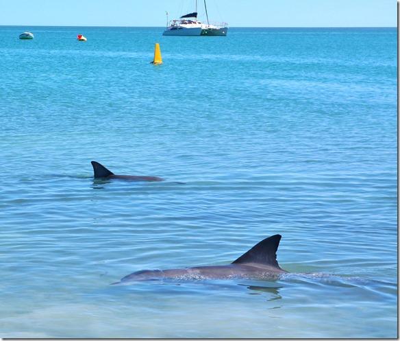 3447 die Delfine verhalten sich gegenüber ihren Artgenossen sehr korrekt = jetzt bekommt ein Anderer den Fisch für heute