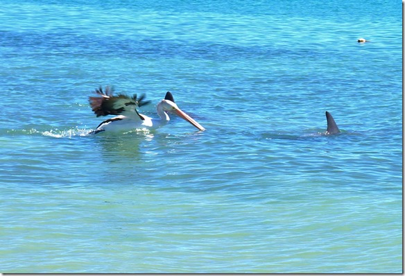 3449 nur der Pelikan versucht es nochmals einem den Tagesrations-Fisch aus dem Mund zu klauen
