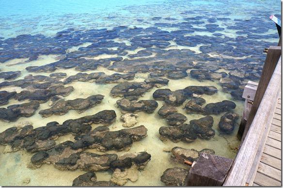 3466 hier sieht man die Stromatolithes = lebende Fossilien