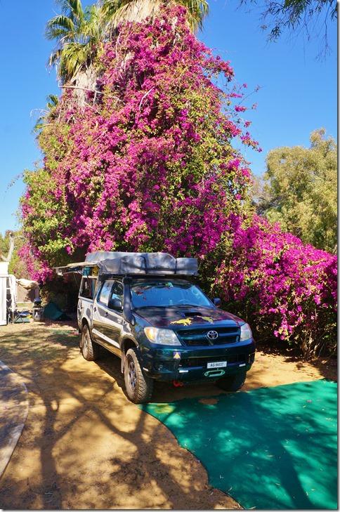 3483 wir stellten unser Dachzelt auf dem Camp in Kalbarri direkt unter diesem schönen Bourgainvilla auf