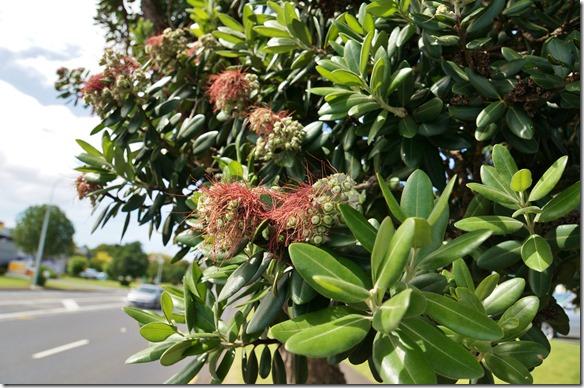 1010 der Nationalbaum Neuseelands