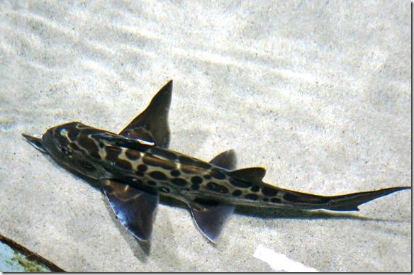 1037 das Wasser in dem die Fische hier leben ist direkt mit dem Meer verbunden, denn diese Fischarten leben alle in diesen Gewässern um Neuseeland