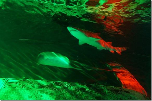 1041 die Hai kann man von unten betrachten, denn man bewegt sich in gläsernen Tunnels durch das Meer