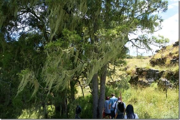 1087 Bäume sind mit einem sehr speziellen aber schönen Moos bewachsen
